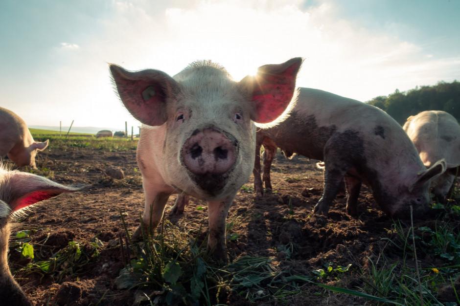 Ukraina chce ograniczenia importu świń z Polski