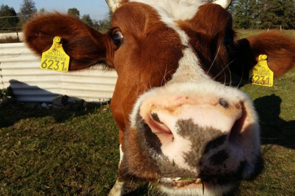 Rozpoczął się pilotażowy projekt identyfikacji bydła