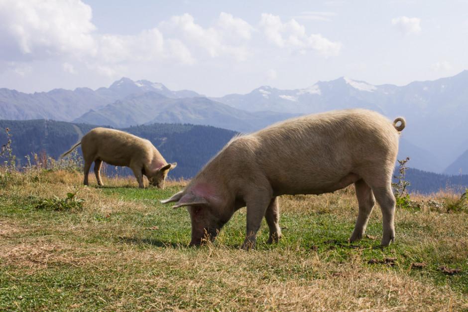 Afrykański pomór świń zbliża się do granic kolejnego kraju