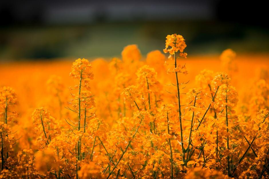 Credit Agricole: Ceny rzepaku pod presją rekordowych zapasów roślin oleistych
