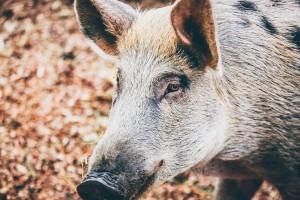 Wiceminister rolnictwa: zwalczenie ASF niemożliwe bez wybicia dzików