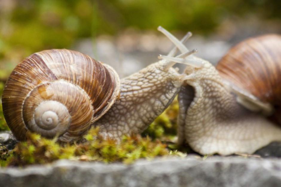W tym roku nie będzie zbioru ślimaków winniczków w warmińsko-mazurskim