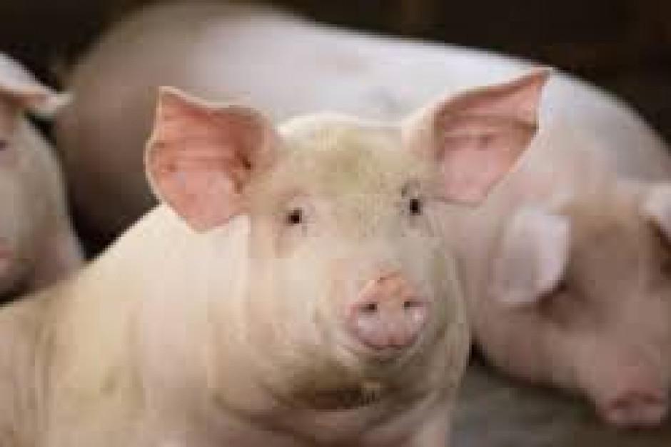 Komisja Europejska planuje zmiany w przemieszczaniu świń ze stref ASF