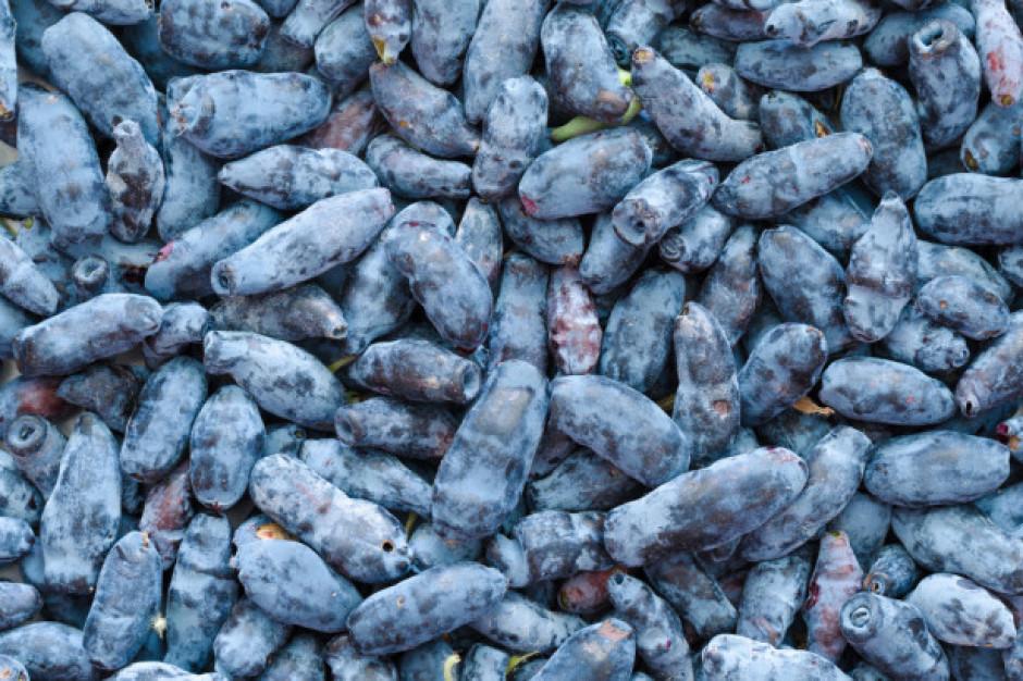 Nutracevit: wspieramy ekologiczne plantacje jagody kamczackiej