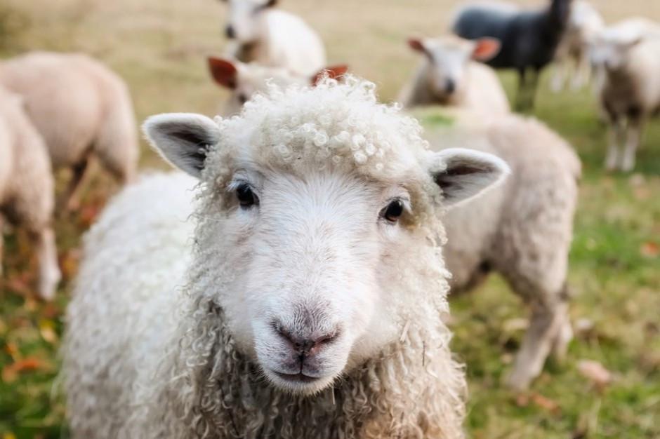 Podhale: Skup jagniąt do Włoch zamiera. Winni obrońcy praw zwierząt?