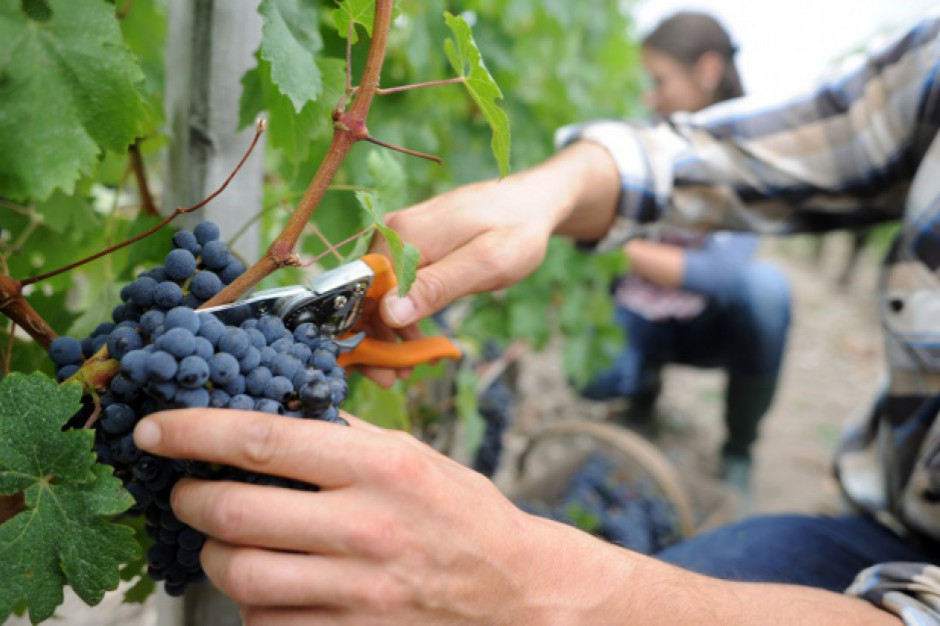 Więcej turystów w podkarpackich winnicach