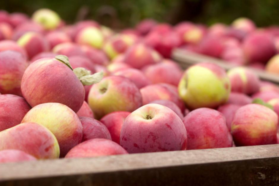 Tempo wzrostu eksportu jabłek niewystarczające, by rozwiązać problem niskich cen