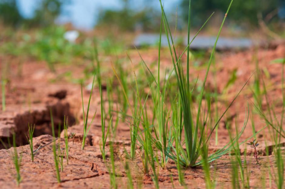 Rolnictwo: Susza może wywołać większe szkody niż w ubiegłym roku