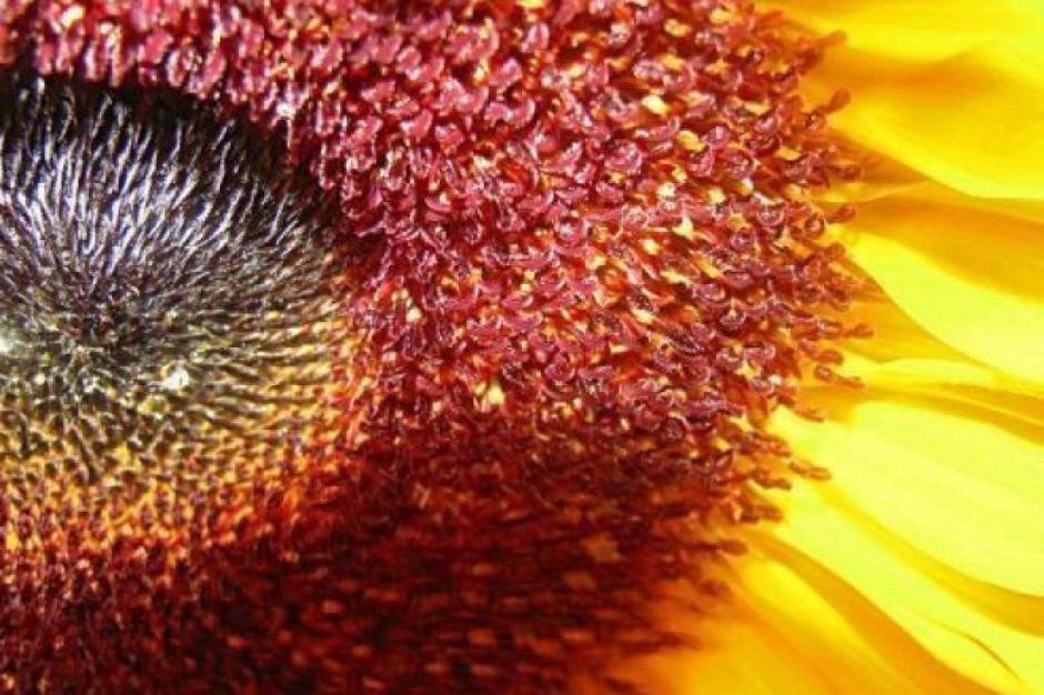 Fundacja Arka rozpoczęła akcję sadzenia słoneczników