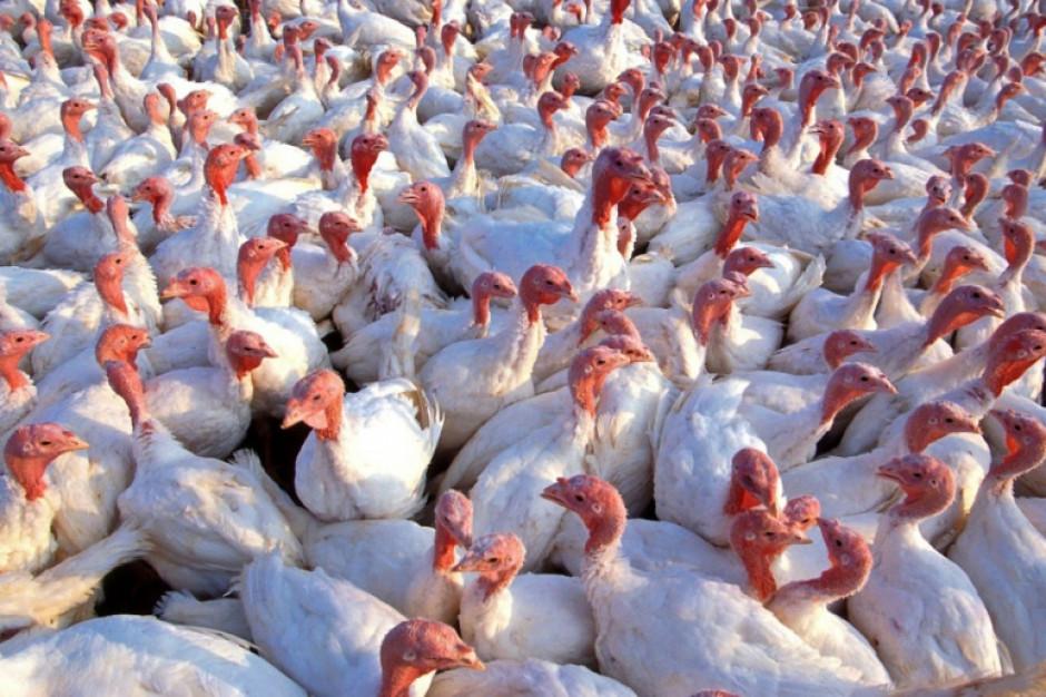 Belgia: Wykryto 26 ognisk grypy ptaków na fermach drobiu