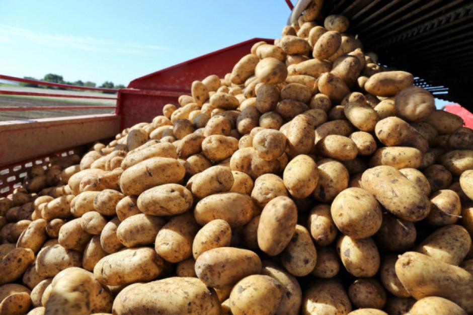 Naukowcy stworzyli ziemniaki bardziej odporne na ciepło