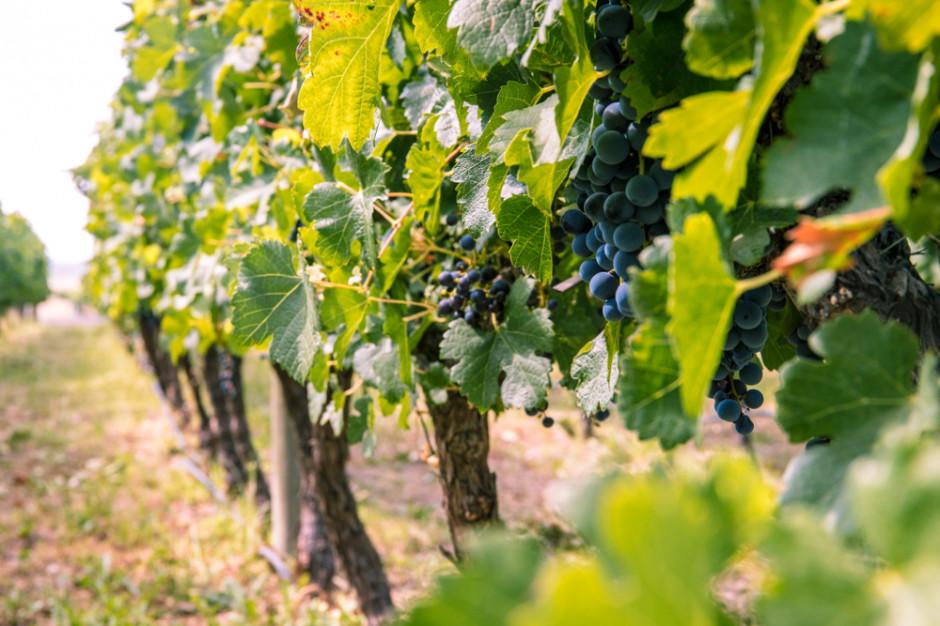 Rozregulowany klimat wywiera niekorzystny wpływ na uprawę winorośli