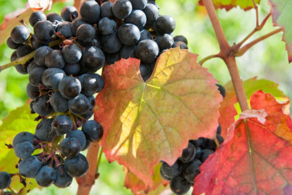 Zmiany klimatu niekorzystne dla europejskich upraw winorośli