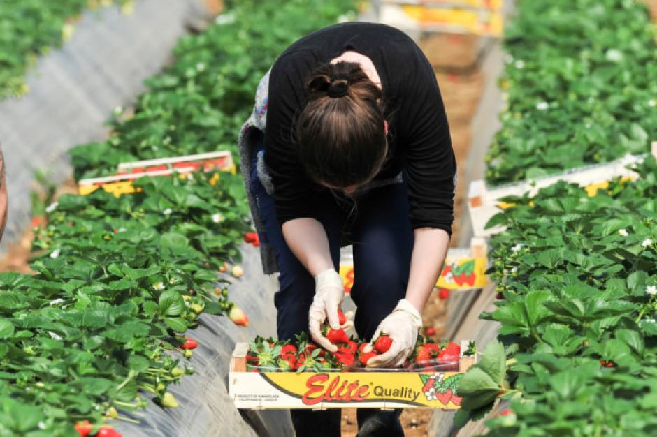 Wraca problem pracowników do zbioru owoców