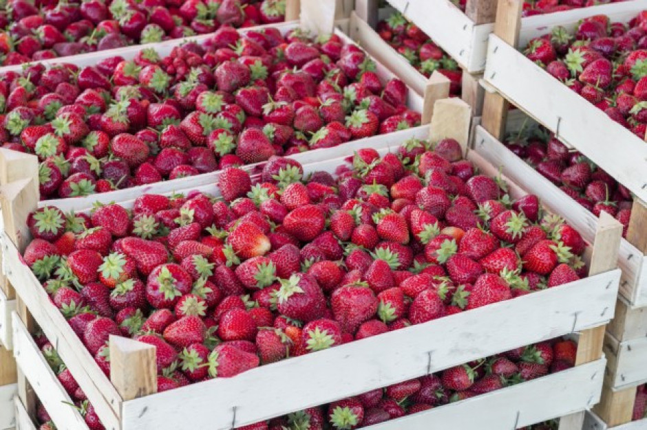 Ruszają pierwsze skupy truskawek na Mazowszu. Ceny od 2 do 4 zł/kg