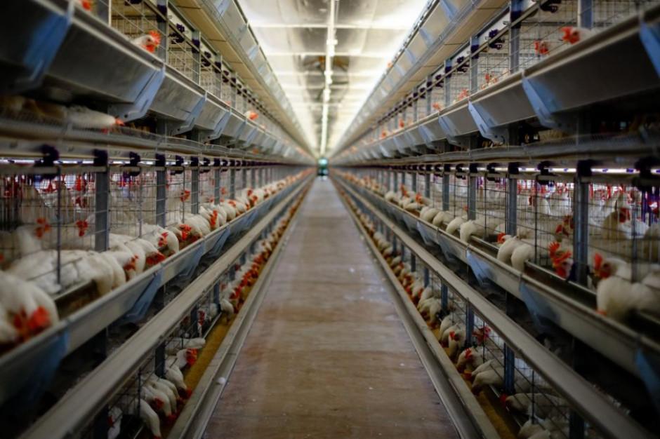 Instytut Gospodarki Rolnej przeciwko zakazowi chowu klatkowego