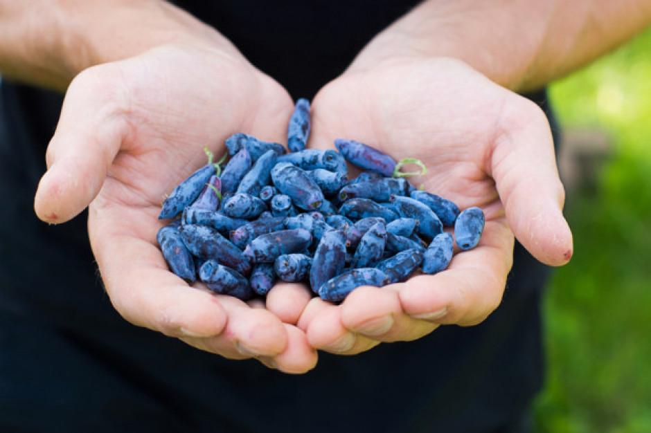 Nowy superowoc na rynku! To pierwszy sezon, w którym jagody kamczackie będą sprzedawane w UE