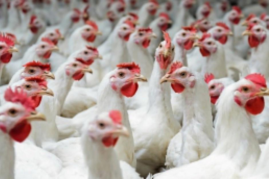 Nowe środki na wsparcie finansowe dla branży drobiarskiej za straty wywołane przez grypę ptaków