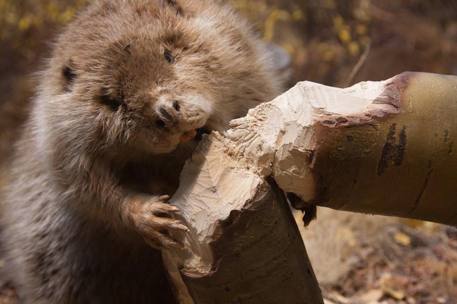 Mięso na wtorek: Czy bobry powrócą na polskie stoły?