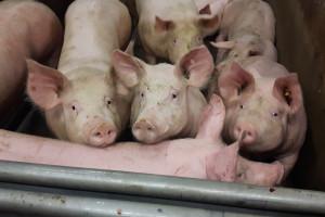 Zdjęcie numer 15 - galeria: Mięso na wtorek: Z wizytą u belgijskich dostawców mięsa (zdjęcia)