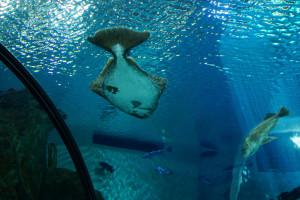 100 proc. połowów halibuta niebieskiego w UE z certyfikatem MSC