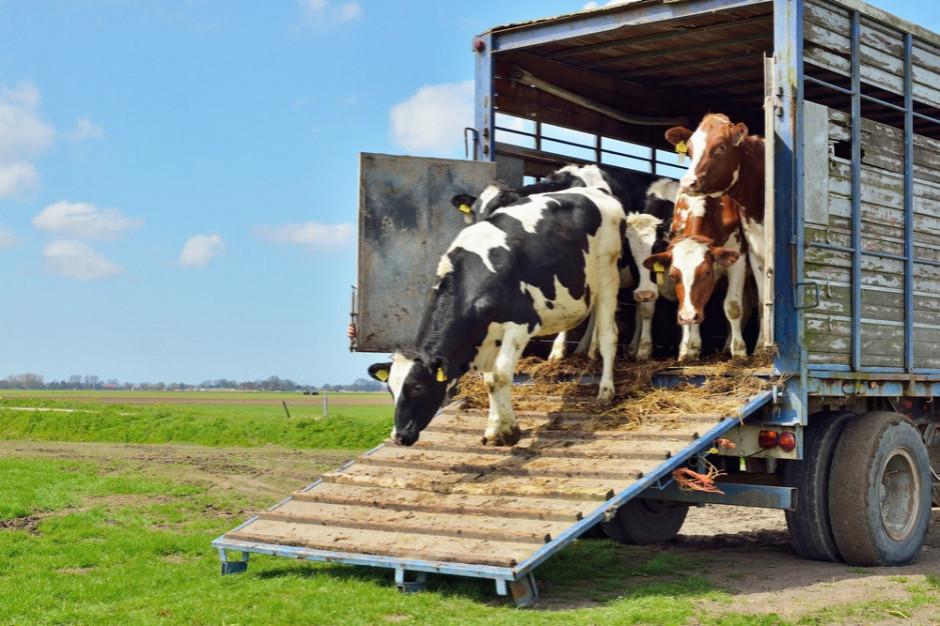 Francja wprowadziła zakaz transportu zwierząt z powodu upałów