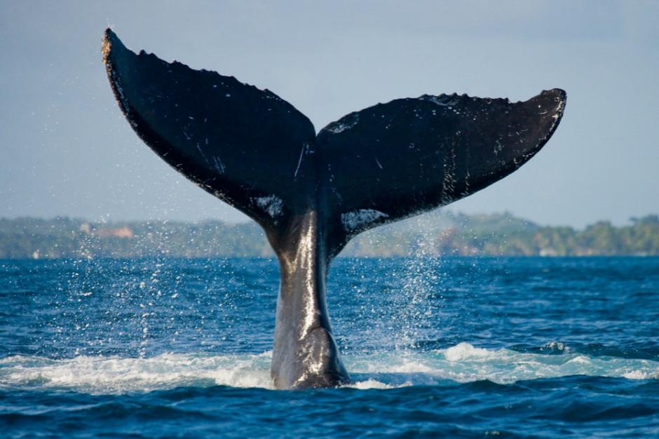 Japonia wznowiła przemysłowe odłowy wielorybów