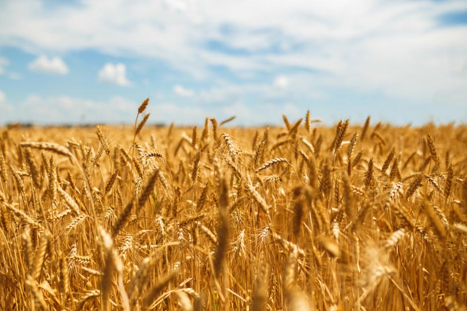 Rosja dostarcza najwięcej pszenicy na światowe rynki