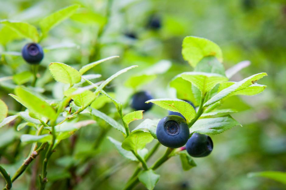 Mniej leśnych jagód i grzybów w lasach - przez suszę