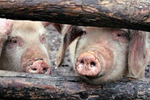 Lubelskie: Wykryto kolejne ognisko ASF u świń
