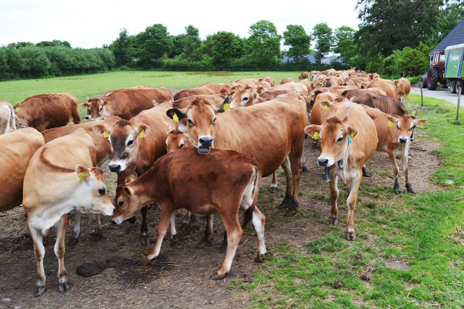 Mięso na wtorek: Skąd wziął się duży spadek cen żywca wołowego?
