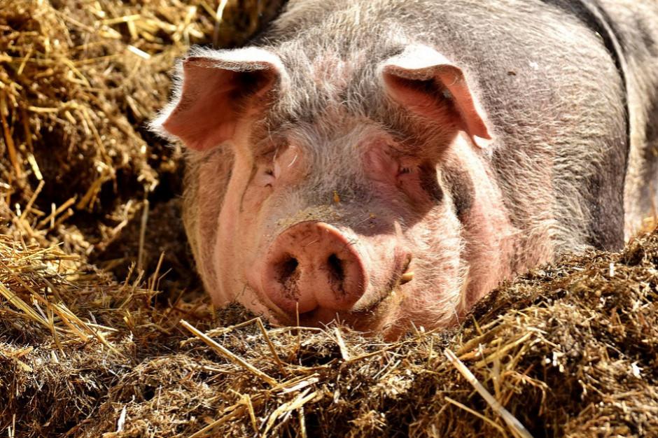 Lubelskie: Wykryto kolejne ogniska ASF u świń