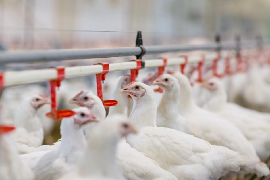 Drób: Niedozwolony biocyd na fermach w Holandii i Niemczech