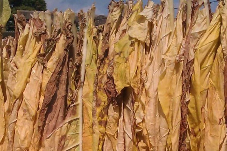 MRiRW deklaruje pomoc dla producentów tytoniu