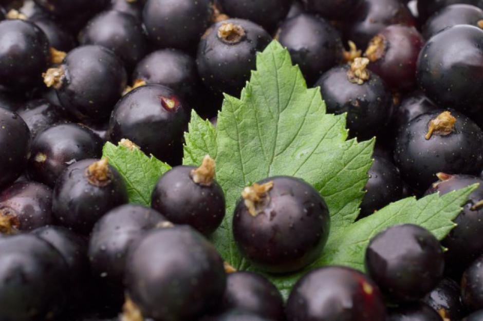 Korab Garden: Nie ma mowy o opłacalności produkcji czarnej porzeczki