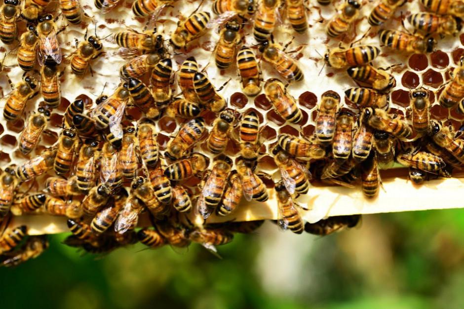 Lubelskie: Prawdopodobnie chciał ukraść miód - śmiertelnie pożądliły go pszczoły