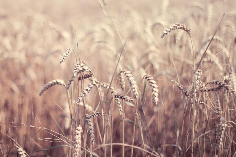 Zbiory zbóż wyższe niż w roku temu