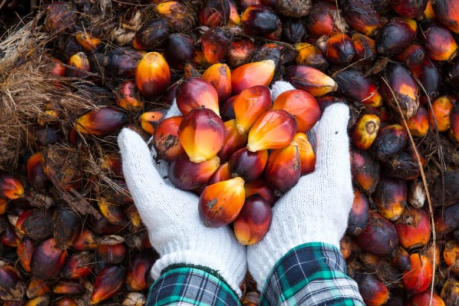 W Indonezji trwa masowa deforestacja. Winny olej palmowy?