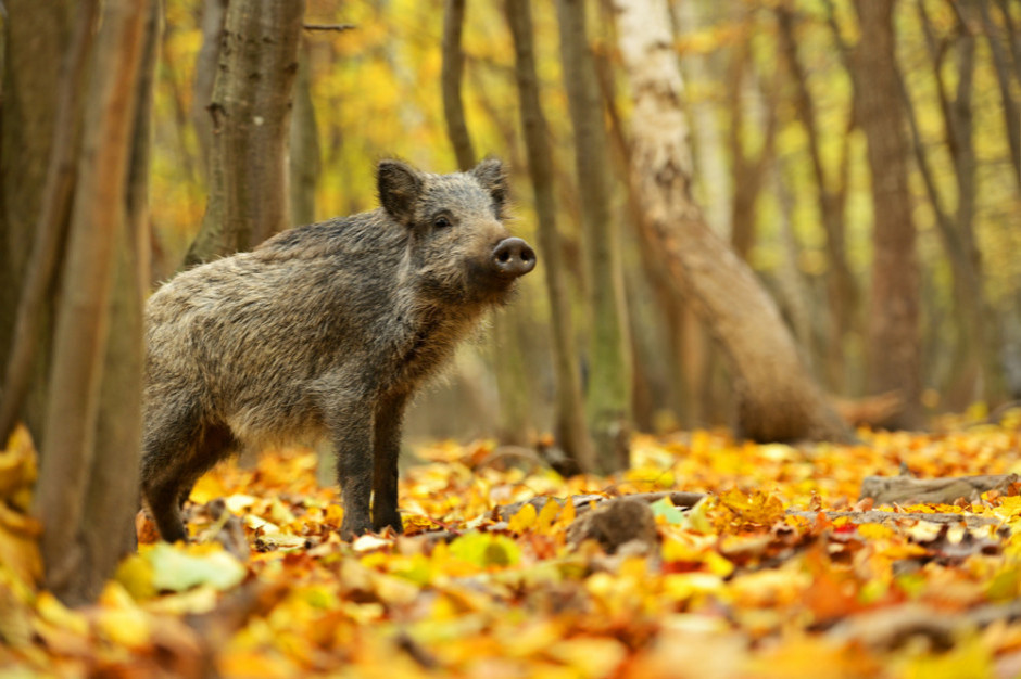 Na Słowacji wezwano myśliwych do odstrzału dzików w związku z ASF