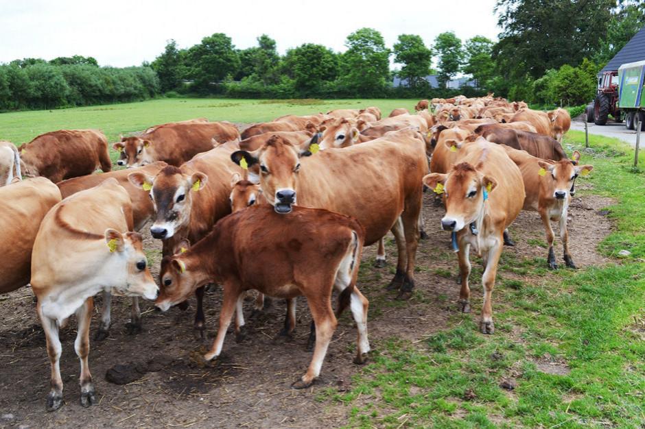 Nielegalny ubój bydła: Śledztwo przedłużone do października