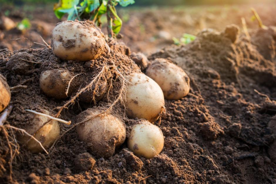 Zbiory ziemniaków większe niż w roku ubiegłym, ceny będą spadać