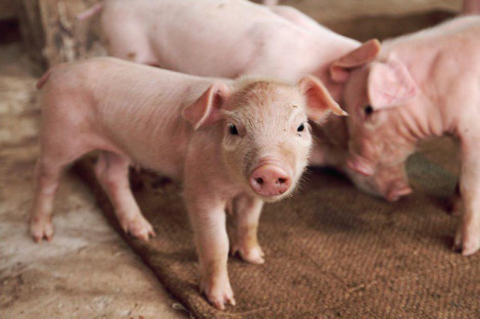 BNP Paribas: Wyższe ceny skupu trzody chlewnej. Droższe mięso w sklepach
