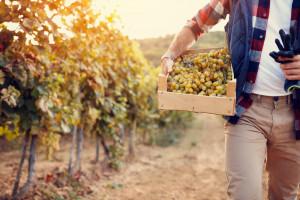Węgry: Winobranie w toku. Rok dobry jakościowo, ale słabszy ilościowo