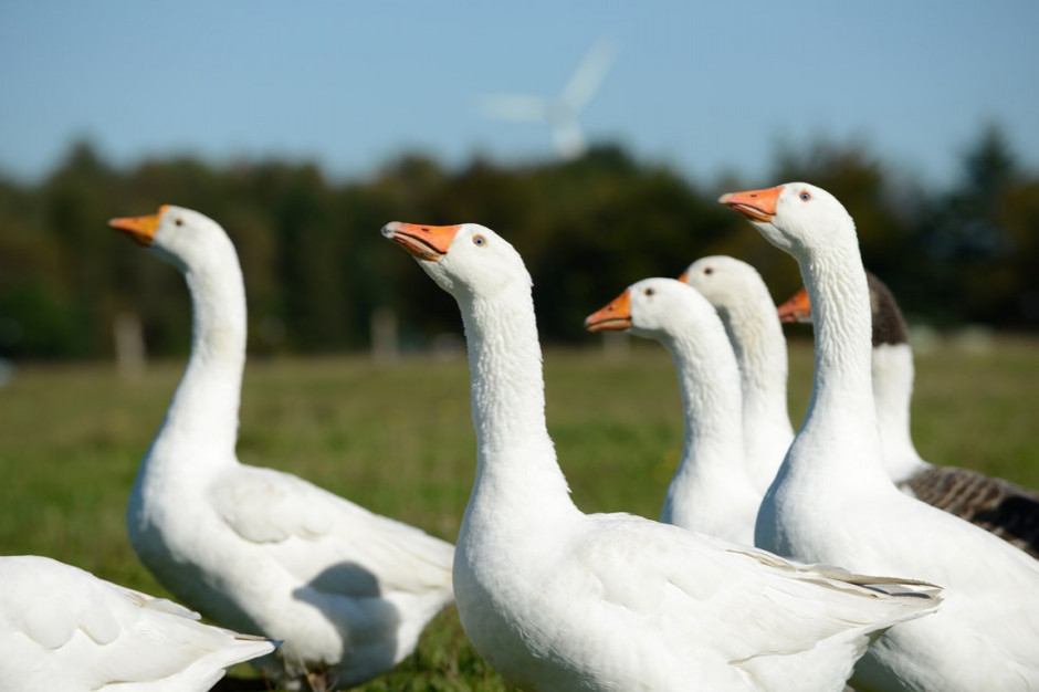 2019 kolejnym dobrym rokiem dla eksportu mięsa z polskich kaczek