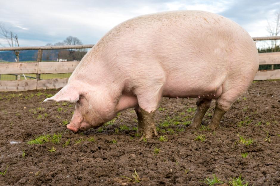 W Chinach wyhodowano świnię ważącą ponad 500 kg