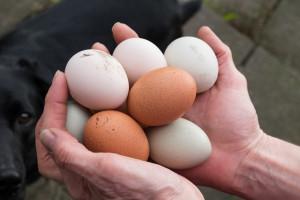 Jaja z chowów alternatywnych nie wypierają z rynku jaj klatkowych (analiza)