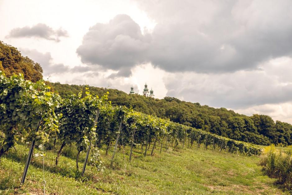 Zdjęcie numer 1 - galeria: Casualowy piątek: Winnica Srebrna Góra - chcemy produkować coraz lepsze wina (zdjęcia)