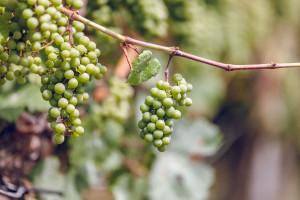 Zdjęcie numer 3 - galeria: Casualowy piątek: Winnica Srebrna Góra - chcemy produkować coraz lepsze wina (zdjęcia)