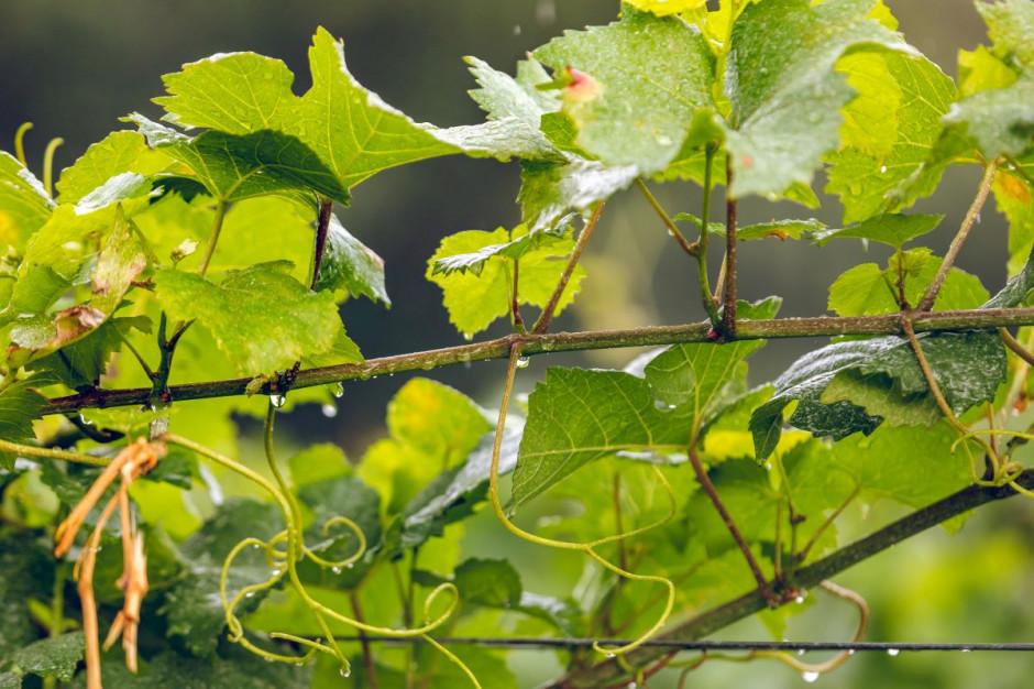 Zdjęcie numer 4 - galeria: Casualowy piątek: Winnica Srebrna Góra - chcemy produkować coraz lepsze wina (zdjęcia)