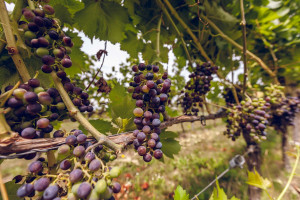 Zdjęcie numer 7 - galeria: Casualowy piątek: Winnica Srebrna Góra - chcemy produkować coraz lepsze wina (zdjęcia)